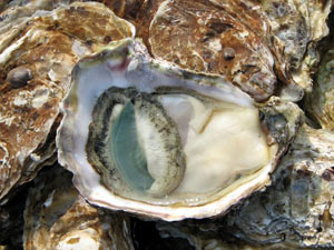 Oyster massive die off in the gulf attributed to the affects of the oil spill clean up.