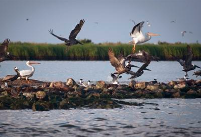 Pelicans take flight near rocks blanketed with oil from the Deepwater Horizon oil spill on Queen Bess Island near Grand Isle, Louisiana June 11, 2010.
