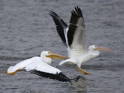Pelicans in Minnesota show traces of the Gulf oil spill.