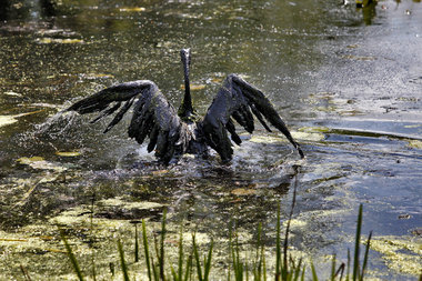 A Canada goose attempts to fly out of the Kalamazoo River the day after the Kalamazoo oil spill in 2010.